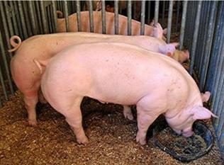 La Junta informa sobre la campaña de análisis obligatorio para el sacrificio de cerdos y jabalíes en domicilios particulares