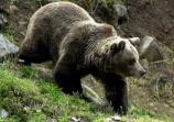 EeA valora positivamente que el Juzgado de lo Contencioso Administrativo haya confirmado la sanción económica a un hombre que disparó a un oso pardo